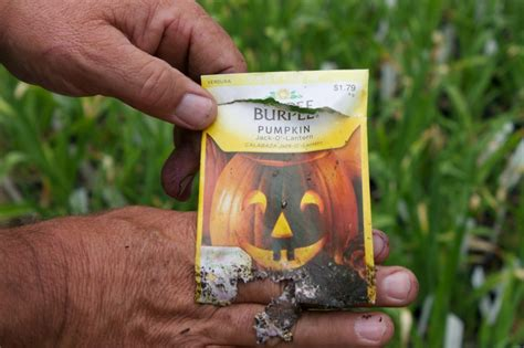 when to plant pumpkin seeds for 11 tips for growing pumpkins