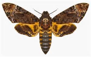 vietnam insect acherontia death s head hawk moth