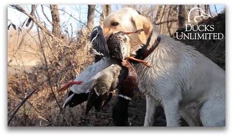 puppies unlimited big river duck ducks unlimited