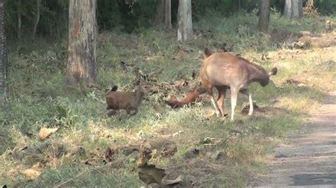 deer attacks dogs attack sambhar deer tadoba sanctuary hd