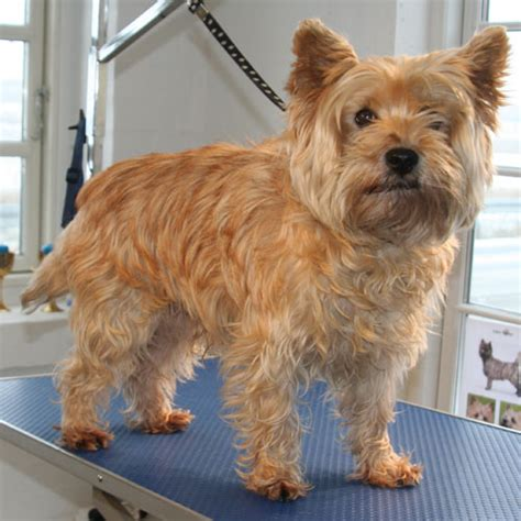 ho to cut a cairn how to trim a cairn terrier hairstyle gallery