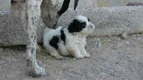 shih tzu cross pitbull dalmatian pitbull mix for sale breeds picture