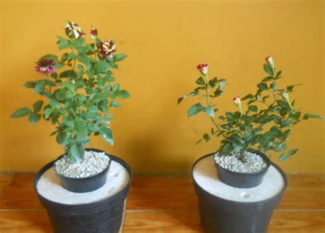 menanam tanaman hias   hidroponik