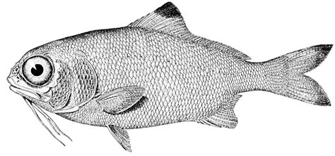 C Nel Black Nickel Merah come saltano i pesci d aprile occhio allo scherzo cm junior