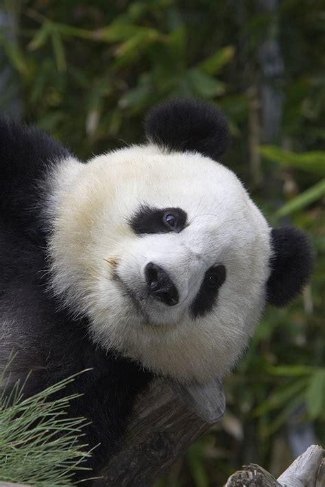 libro panda bear panda bear panda bear bears polar panda grizzly koala black brown pablo