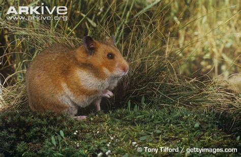 Makanan Hamster Golden Hamster chomik syryjski umaszczenia agouti my monsters
