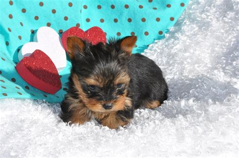 yorkie puppies wallpaper terrier puppies wallpaper www imgkid the image kid has it