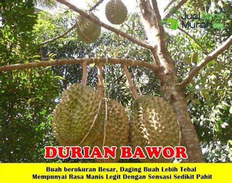 buah durian bawor unggul jualbenihmurah