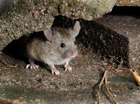 rats in backyard getting rid of how to keep rats away