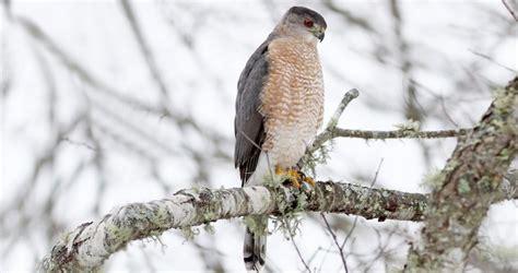 coopers hawk identification   birds cornell lab