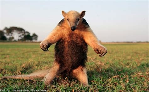 interesting facts  anteaters  fun facts