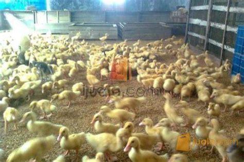 Bibit Bebek Peking Di Jawa Timur dod anak bebek itik dan doc ayam kung surabaya jualo