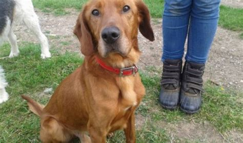 red setter dog rehoming red 3 year old male red setter cross dog for adoption
