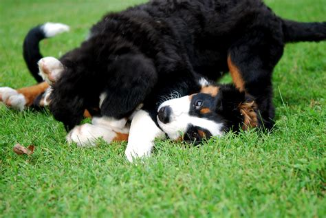 bernese mountain puppies iowa pets wallpapers happy dogs