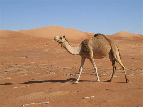 how can a go without how can a camel go without water dubai