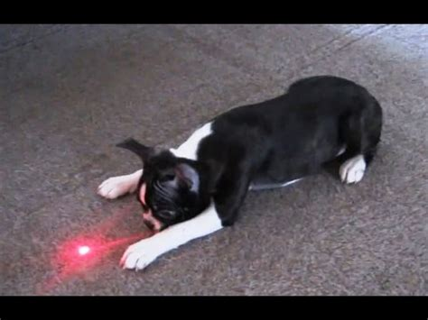 laser pointer for dogs quot puppies chasing laser pointers compilation quot cfs