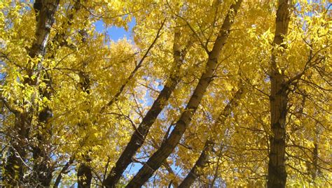 trees that leaves turn yellow in fall images