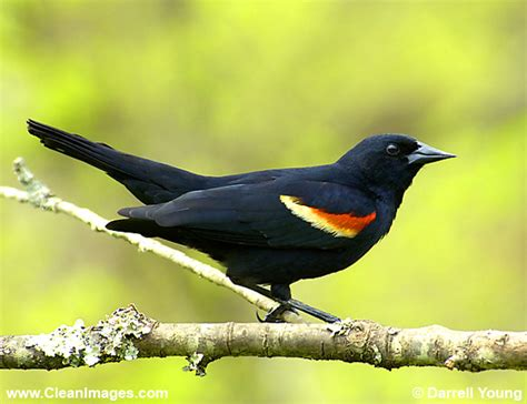 anbdh1173 red wing blackbird 600px