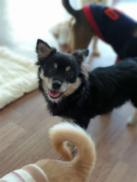adopt komi  tori  korean dogs
