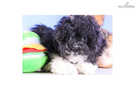 will shipoo puppy have curly hair meet curly a cute shih poo shihpoo puppy for sale for