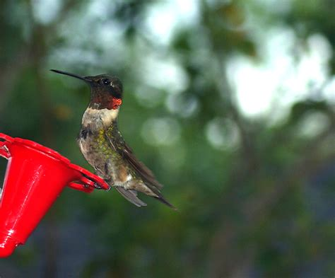 hummingbirds in fall