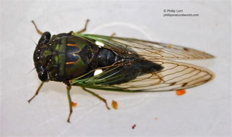 cicadas phillip s natural world