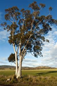 eucalyptus trees environmentalists save tasmanian forest quiet kinetic