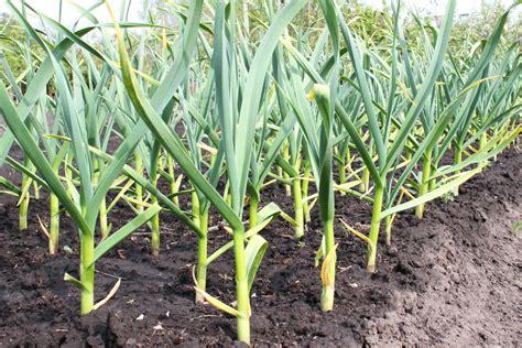coltivazione aglio in vaso come coltivare l aglio in vaso o giardino la guida per