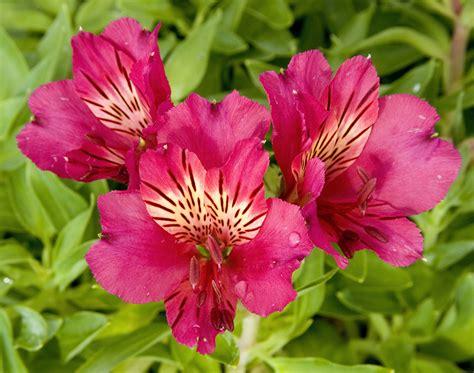 alstroemeria princess ivana sloat garden center