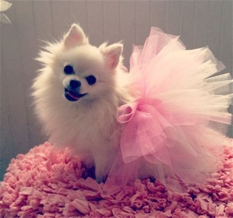 pomeranian tutu 11 best images about patterns on costumes for dogs and diy