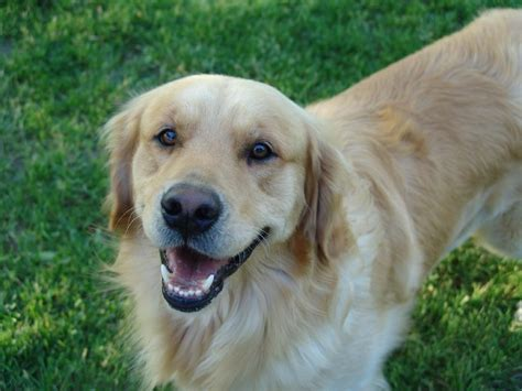 golden retriever colorado colorado golden retrievers