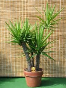 file yucca gloriosa in clay pot jpg