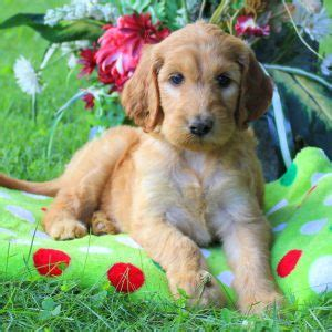 puppies for sale in nj 300 mini doodle puppies pa photo breeds picture