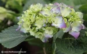 hydrangea flower pictures hortensia flower pictures