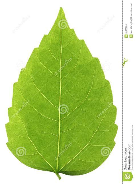 imagenes de hojas verdes hoja verde imagenes de archivo imagen 31665604