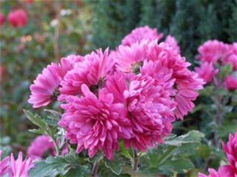 fiori di giardino foto fiori di rosa garofano giardino scaricare foto gratis