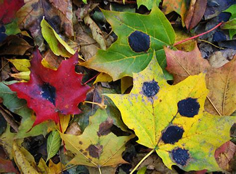 maple tree tar spots maple tar spot visible this year