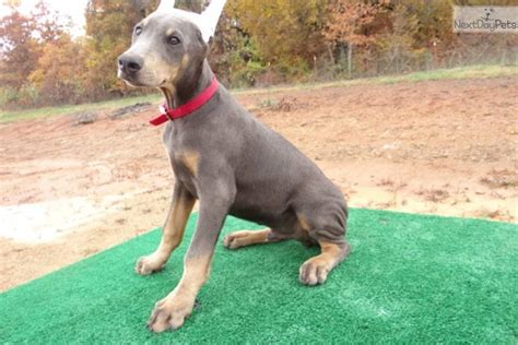 blue doberman pinscher puppies for sale doberman puppies for sale doberman puppies for sale breeds picture