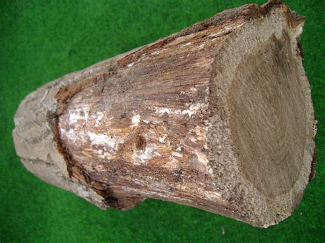 hallimasch pilze im garten hallimasch an laub und nadelgeh 246 lzen industrieverband agrar