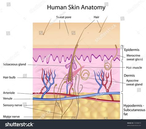 stock images similar to id 65616337 human skin macro texture human skin anatomy detailed accurate labeled stock illustration 72598873