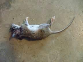 Dead Mouse Mouse 171 Dire News