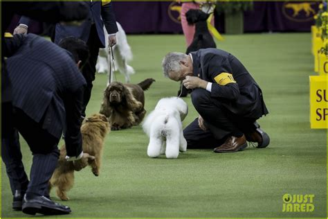 who won westminster show who won best in show at westminster show 2018 photo 4032849 random pictures
