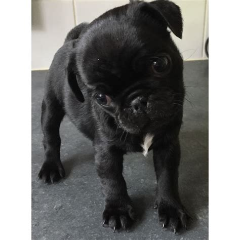pug for sale cardiff 2 pug puppies for sale one one cardiff cardiff pets4homes