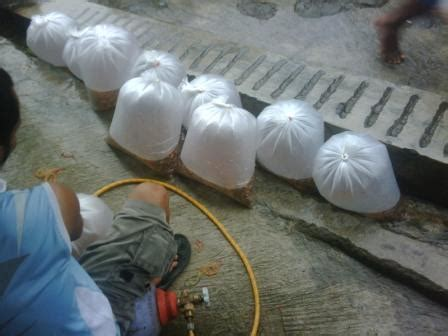 Bibit Ikan Nila Di Cimahi jual bibit ikan nila murah dengan garansi budidaya nila