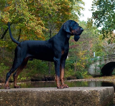black and coonhound puppy black and coonhound