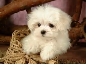 Maltese Puppies Puppy Maltese Puppy