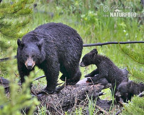 imagenes oso negro oso negro fotos fotograf 237 a