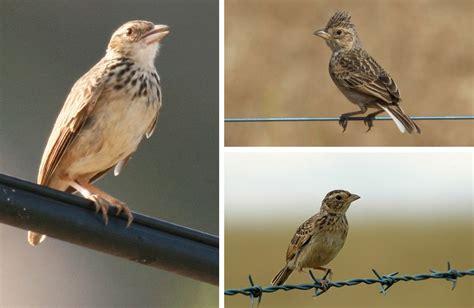cara membedakan branjangan dan richard s pipit klub burung