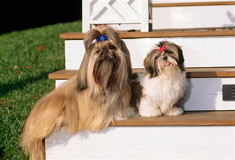 shih tzu males animal stock photos kimballstock