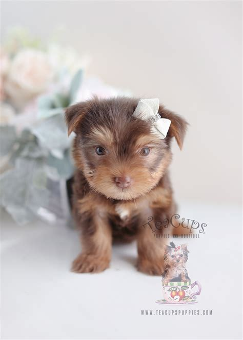 yorkie puppies fort lauderdale teacup puppies for sale miami florida teacup yorkie puppies for sale breeds picture